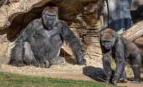 Gorilla's in San Diego Zoo besmet met coronavirus