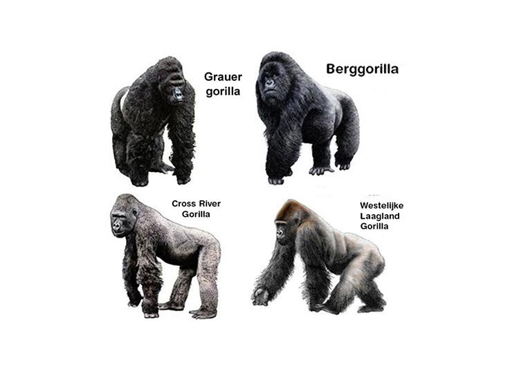 Gorilla Soorten
