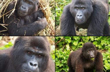 Adopteer een Gorilla