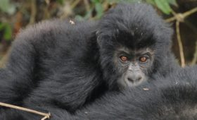 Belangrijk leefgebied Grauer gorilla's beter beschermd