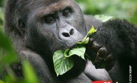 Oostelijke gorilla dreigt uit te sterven