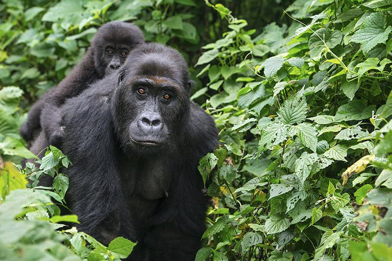 Grauer gorilla's verliezen hun genetische diversiteit
