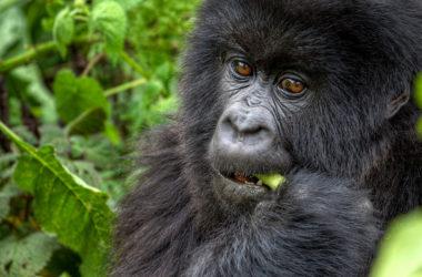 Wat eten gorilla's?