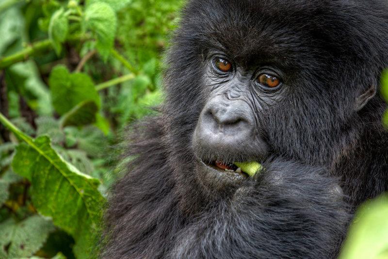 Status berggorilla's niet langer ernstig bedreigd