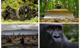 De eerste Nationale Gorilla Dag!