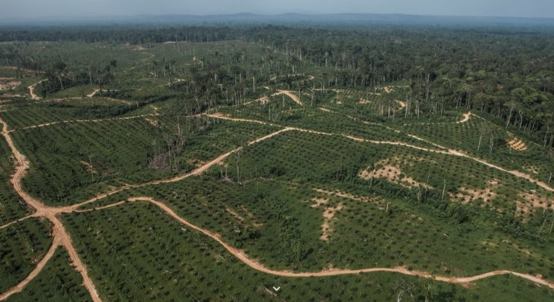 Groeiende honger naar palmolie bedreigt gorilla