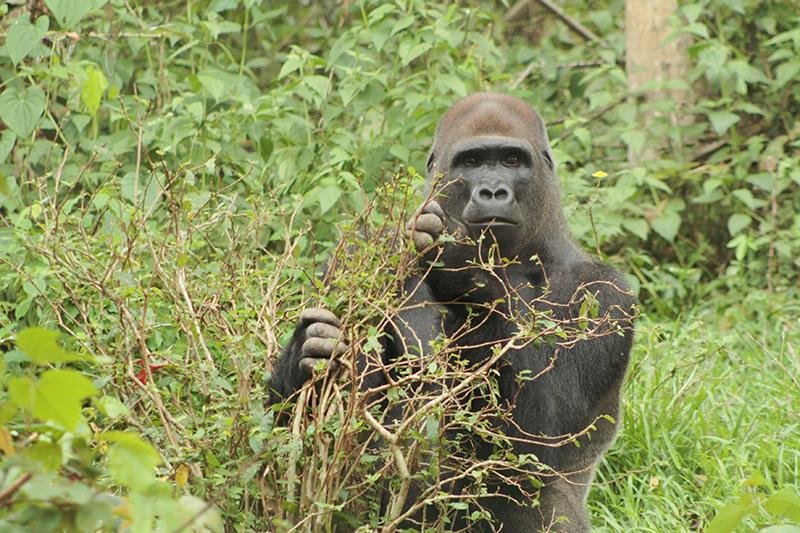 Coprofagie van Dialiumzaden: een uitstekende gorillastrategie
