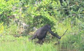 Cultuur bij gorilla's
