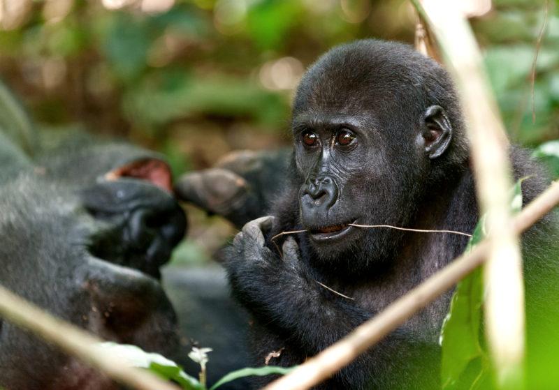Meer gorilla's en chimpansees in het wild dan gedacht