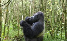 Gevolgen klimaatverandering op dieet berggorilla's