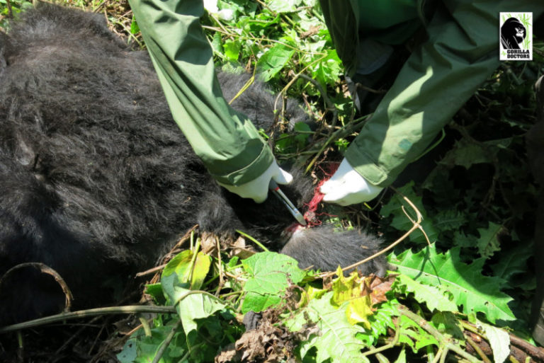 Gorilla Doctors bevrijden voor het eerst niet volledig gehabitueerde gorilla uit valstrik