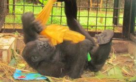 Expressieve therapieën voor gorilla's