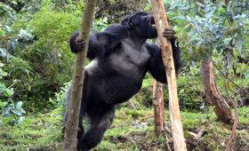 Eucalyptus – een belangrijke maar gevaarlijke bron van natrium voor de berggorilla's