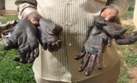 Bushmeat blijft populair, ook in Europa
