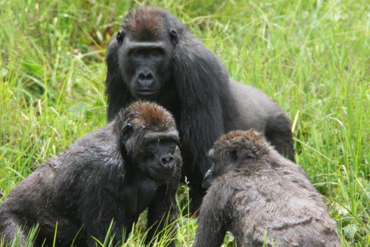 Gorilla's leven in 'complexe' samenlevingen