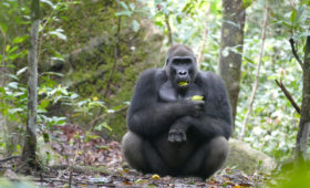 Gorilla's in Gabon eten noten