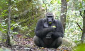 Gorilla's in Gabon eten noten