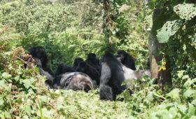 Hoe ervaren gorilla's de dood?