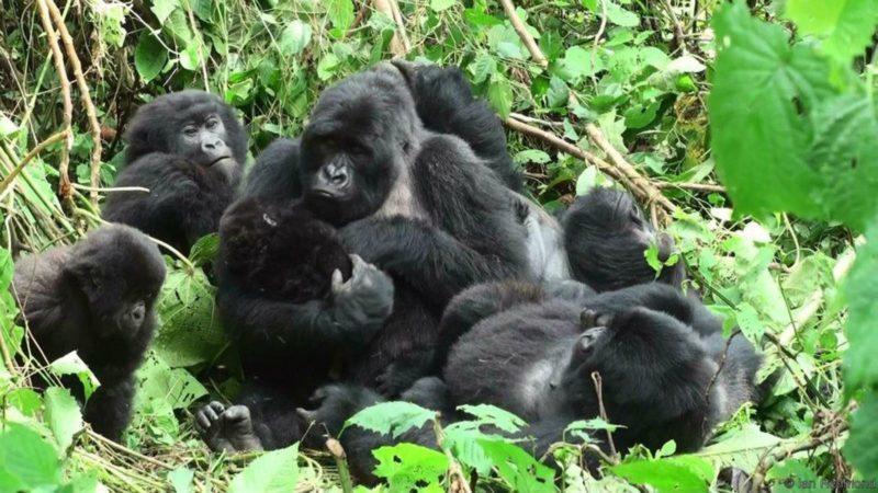 Populatie berggorilla's neemt gestaag toe