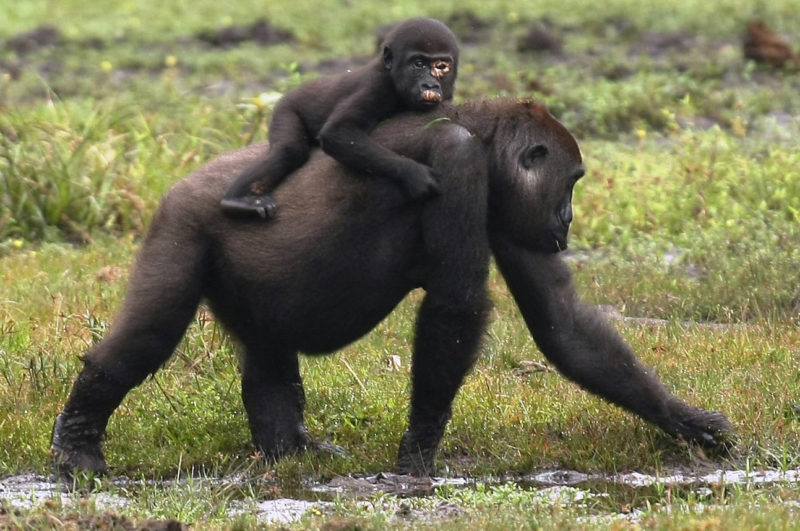 Gorillavrouwtjes kiezen voor andere groep als er besmettelijke ziektes heersen