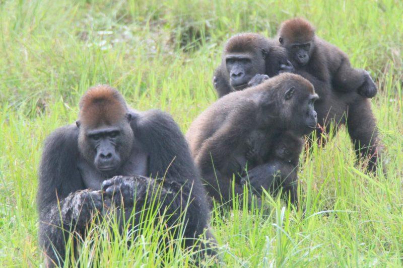 Wat beïnvloedt de keuze van een gorillavrouw om een groep te verlaten?