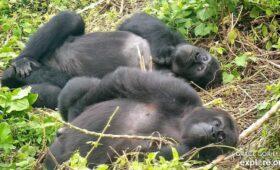 Een blik in het leven van de gorilla's bij GRACE