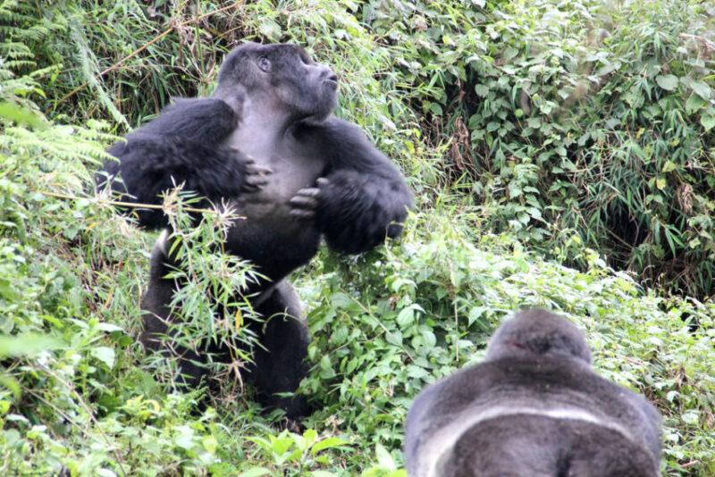 De borstroffel als signaal voor de borstomvang bij berggorilla's