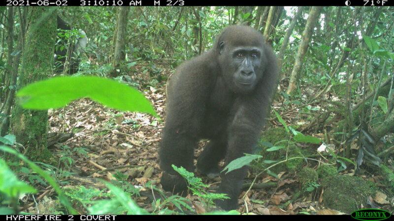 Unieke cameravalbeelden uit Afi Mountain Wildlife Sanctuary!