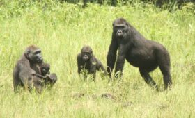 Over de verwantschap van gorillavrouwtjes