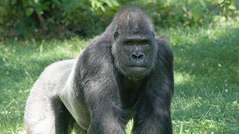 Bloedtransfusie redt het leven van een gorilla